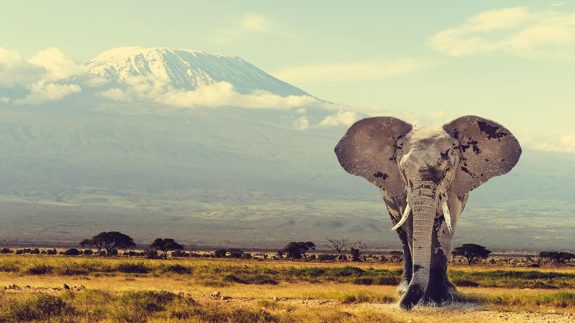Elefante Tanzania