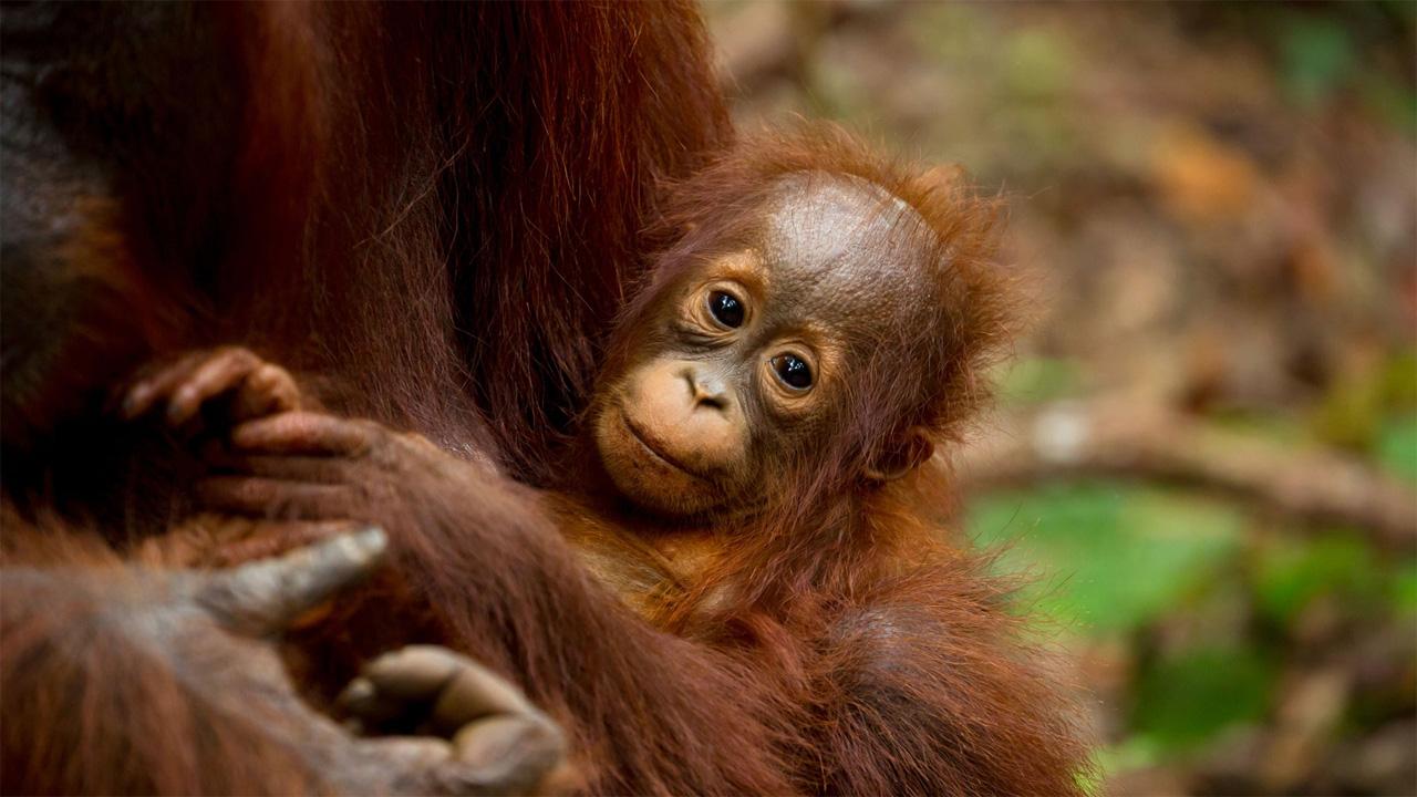 Bebe Orangutan