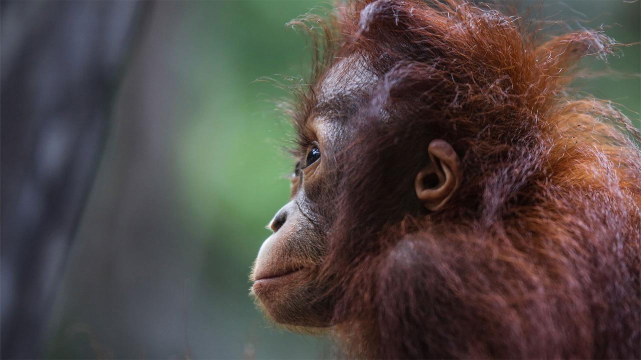 Orangutan