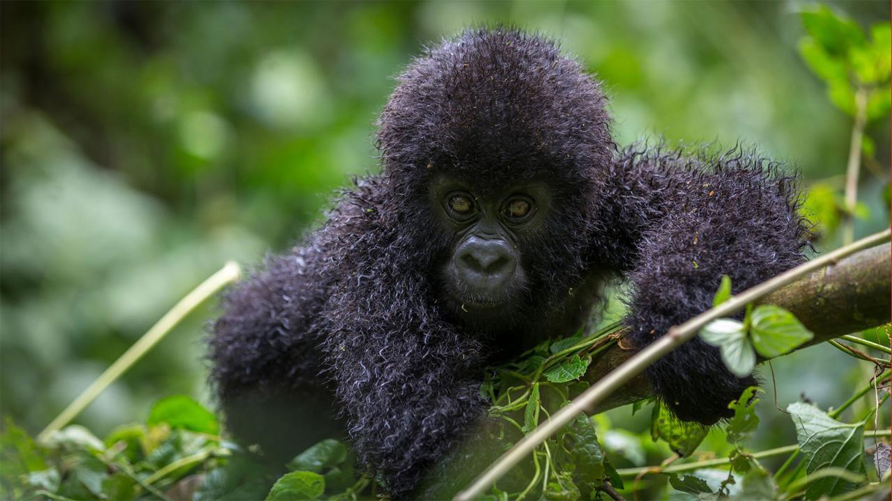 Bebe de Gorila de montaña