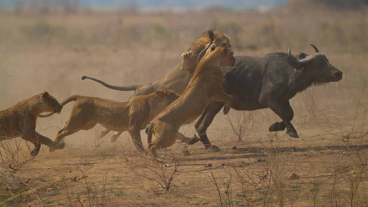 Leones cazando un bufalo cafre