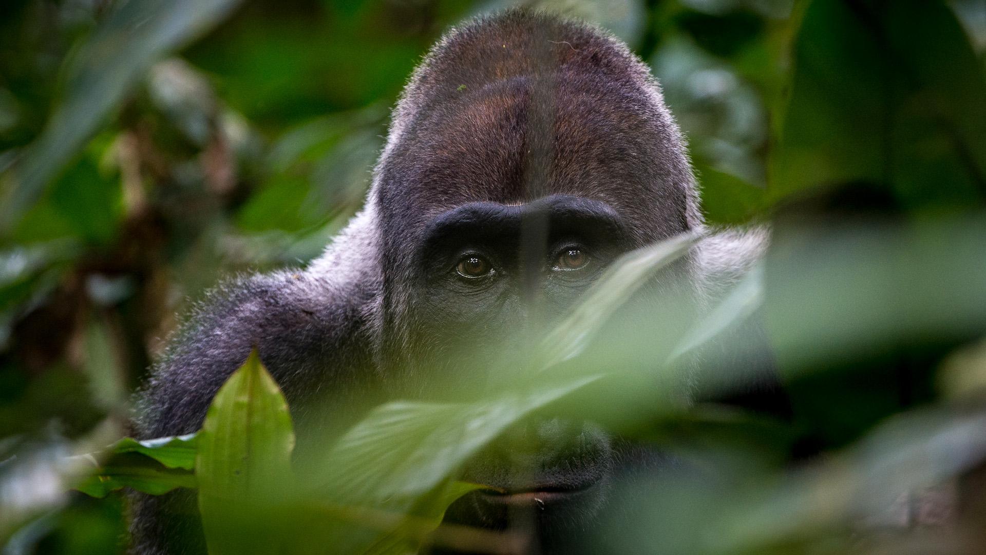 Gorila de Llanura
